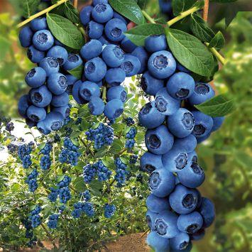 Trauben-Heidelbeere 'Blue Berry®'