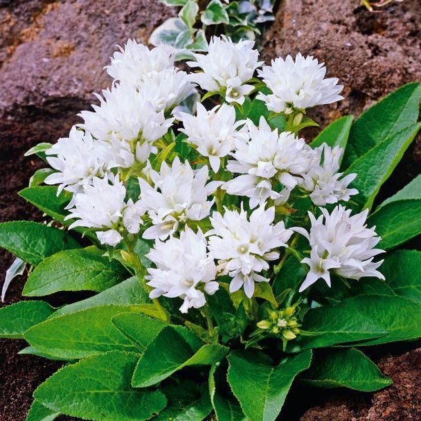 Knäuelglockenblume, weiß