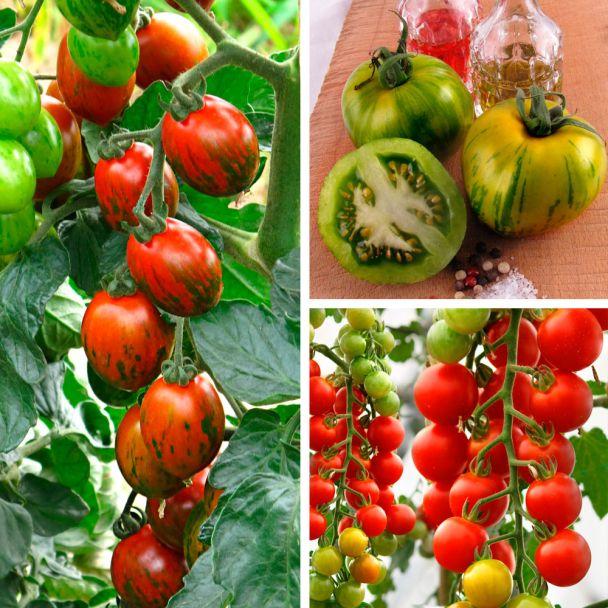 Set-Preis - 3 Sorten Tomaten: 1 x 'Wild Horse', 1 x 'CherryLady' und 1 x 'My Love'