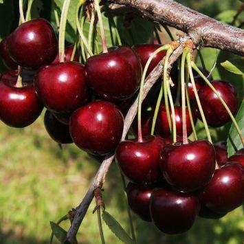 Schwarz-Rote Knorpelkirsche 'Kordia'
