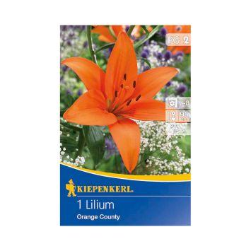 Asiatische Lilien 'Orange County'