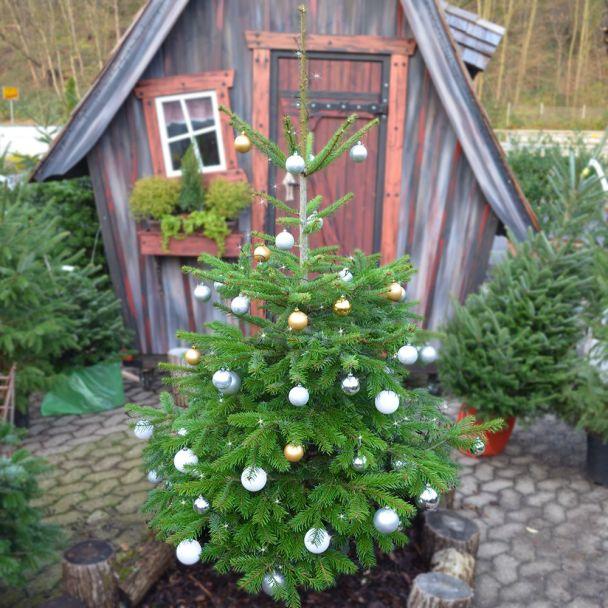 Echte Nordmanntanne, Weihnachtsbaum, ca. 150-170 cm