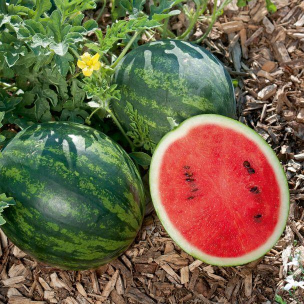 Mini Wassermelone 'Mini Love'