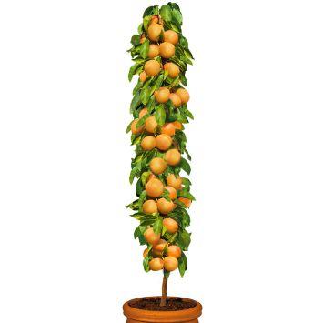 Säulenobstbaum Aprikose 'Golden Sun', einjährig