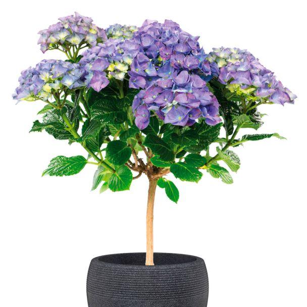 Hortensien-Stämmchen, blau
