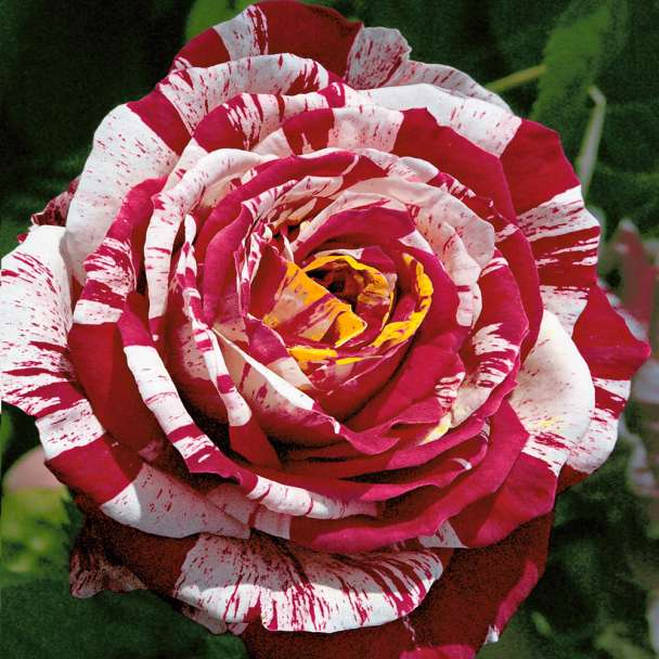Edel-Rose 'Best Impression®'
