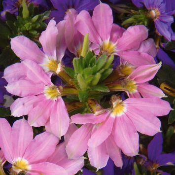 Fächerblume 'Topaz Pink'