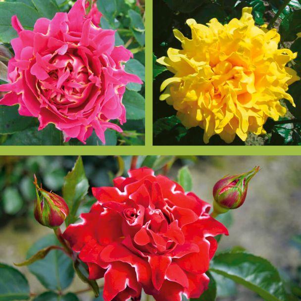 3 Ruffles Rosen: Red Lady®, Splendid®, Joy®