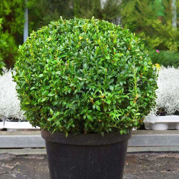 Immergrüner Buchsbaum im 30 cm Topf (XLarge)