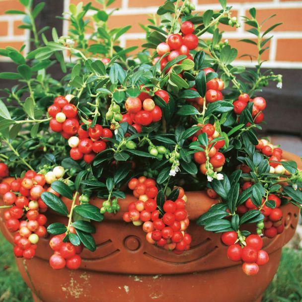 Immergrüne Preiselbeere 'Red Pearl'
