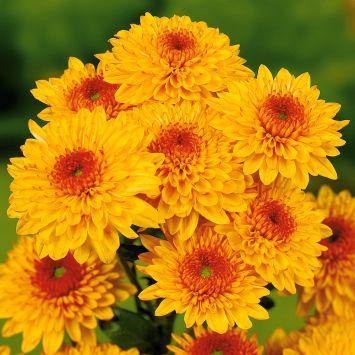 Garten-Chrysanthemen 'Beppie Bronce'