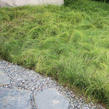 Grüner Flokati - Winkel-Segge