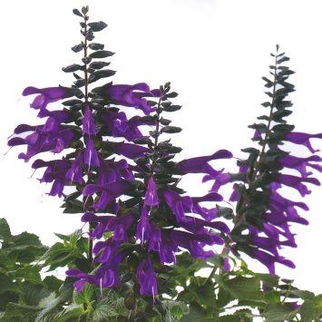 Blütensalbei 'Amistad'