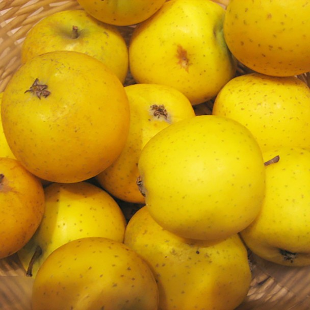 Winterapfel Ananasrenette - Apfelbaum