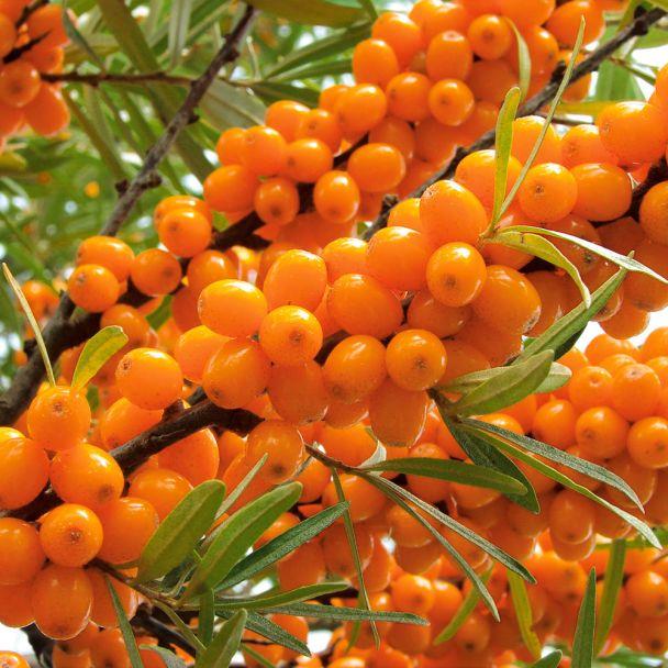 Winterfrucht 'Oranje Power', weibliche Pflanze