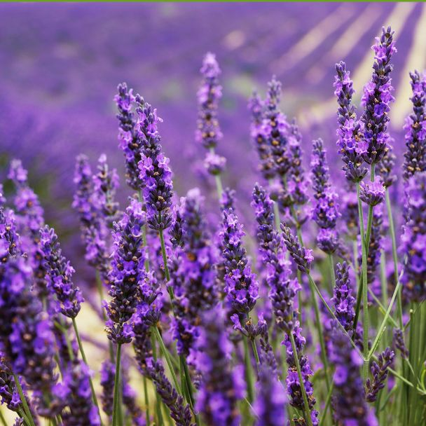 Duft-Lavendel