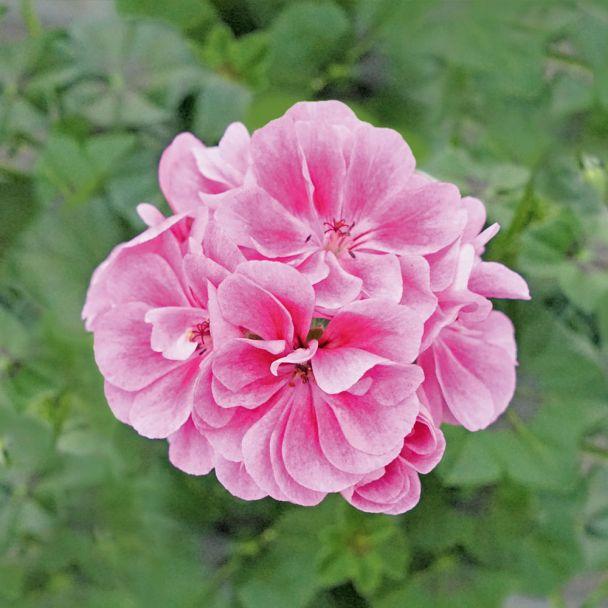 Hängegeranie Royal Frosty Pink