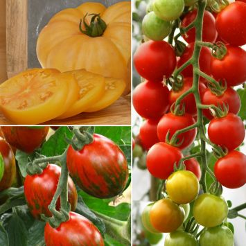 Set-Preis: 1 Ananas-Tomate, 1 CherryLady F1, 1 My Love F1