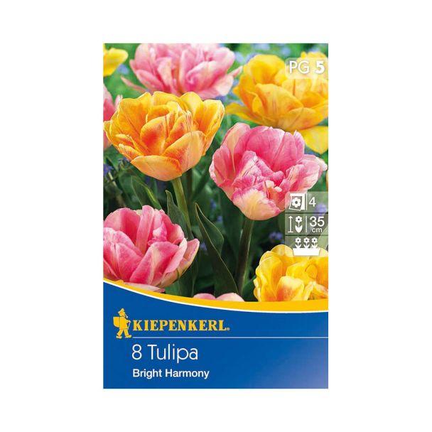 Tulpe 'Bright Harmony'