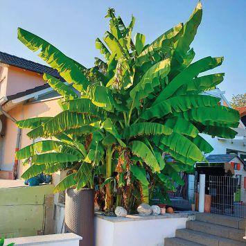 Winterharte Bananenstaude Musa