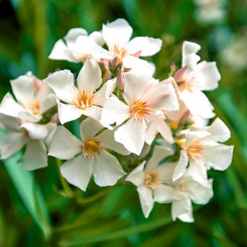 Duft- Oleander, Weiß