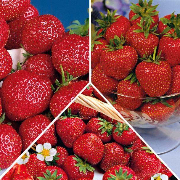 Set-Preis: 30 Erdbeerpflanzen im Topf