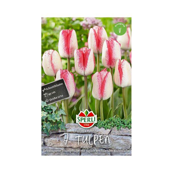 Tulpen Playgirl