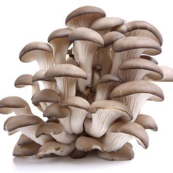 'Austernpilz' Waldgarten-Pilze