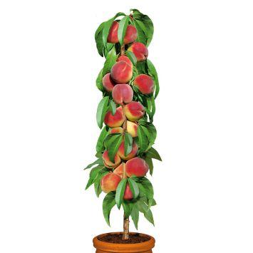 Säulenobstbaum Pfirsich 'Aida', zweijährig