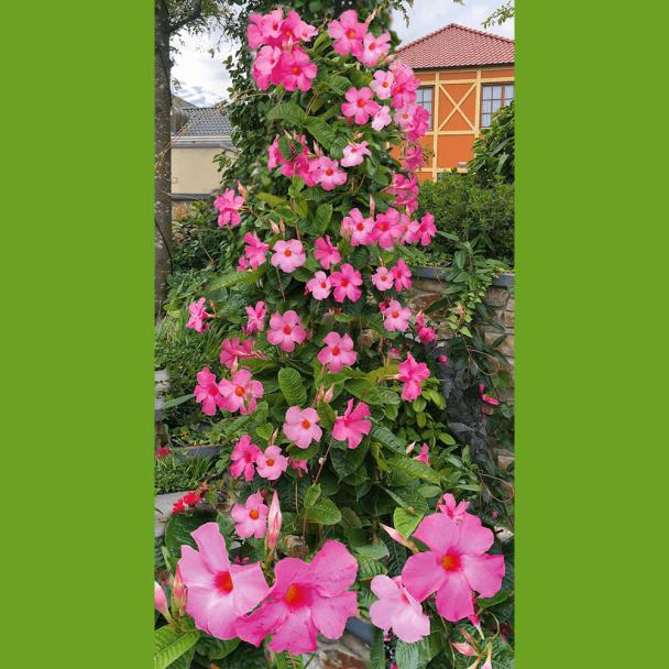 Mandeville Pink Manda