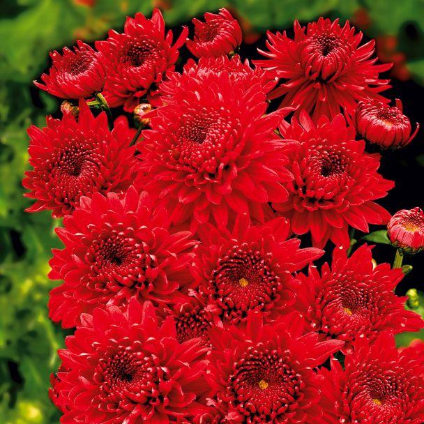 Garten-Chrysanthemen 'Feuerzauber'