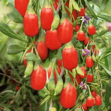 Goji 'SweetLifeberry®'