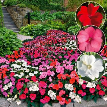 Sparset: 9 Impatiens 'Sunny Love' 3 Purple, 3 White, 3 Fire