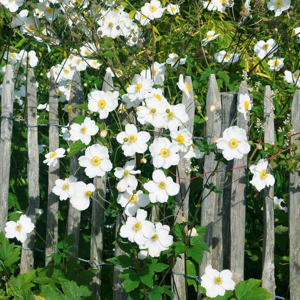 Herbst-Anemonen Weiß